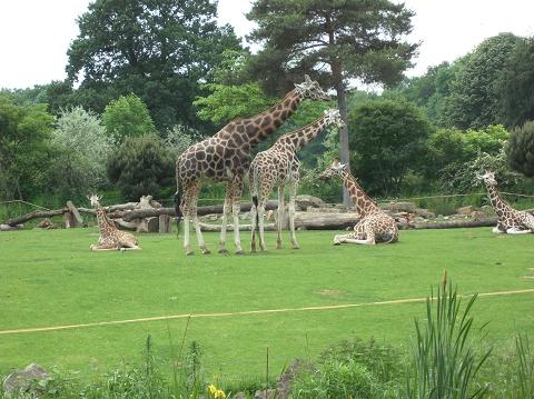 Giraffen in Leipzig
