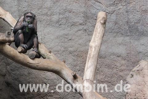 Schimpanse vor Wand