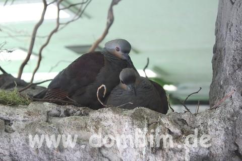 Tauben beim Kuscheln