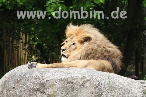 Matadi, Löwe aus Leipzig