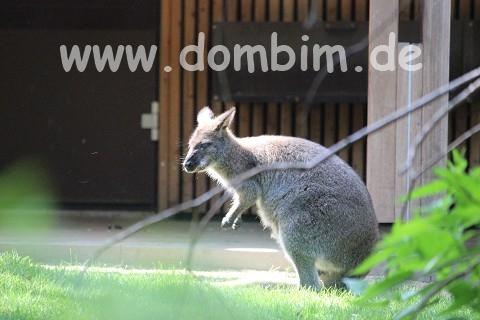 auch ein Känguru lebt in Halle