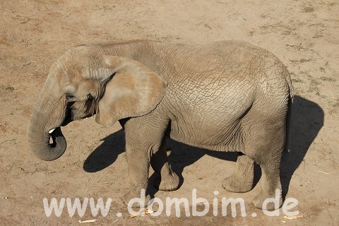 Afrikanischer Elefant an der Saale