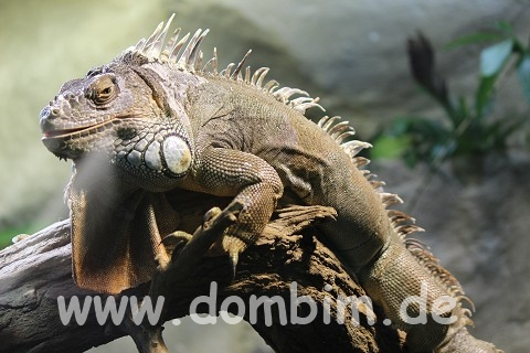 Leguan Zoo Halle