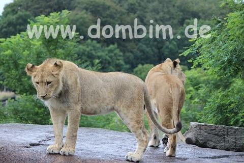 Ree Park Safari Loewe