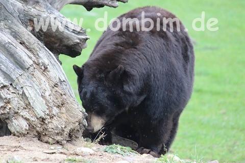 Ree Park Safari Schwarzbaer