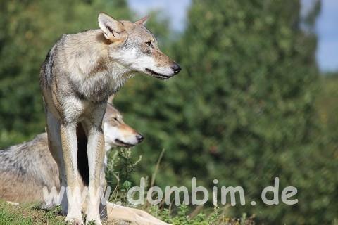 Skandinavisk Dyrepark Wolf