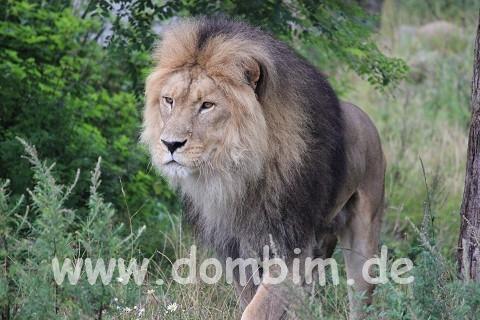 Löwe im Ree Park Safari