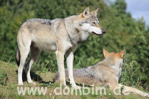 skandinavischer Wolf
